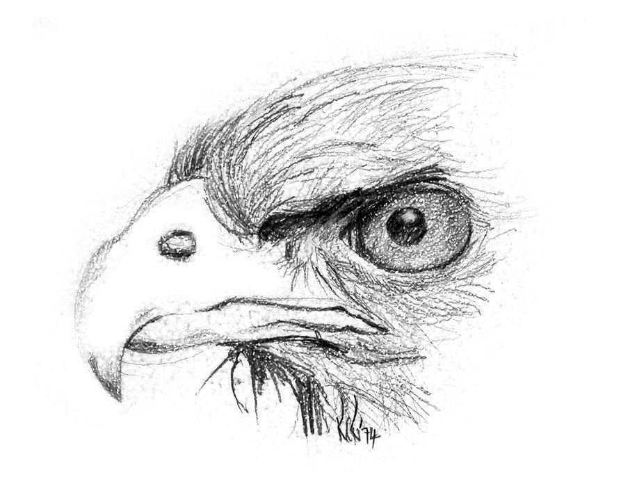 Brown Snake Eagle by Ralph Resnik Wildlife Artist