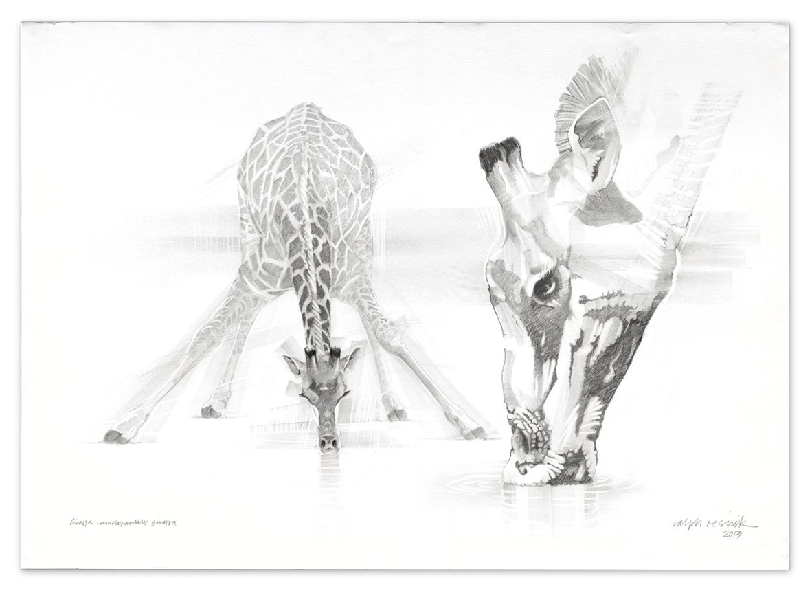 Giraffe Drinking – FOR SALE Pencil painting on acid-free paper; 1010 mm x 720 mm